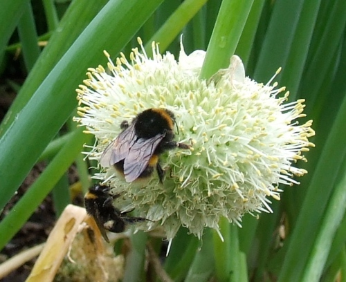 Bees and welsh onion flower