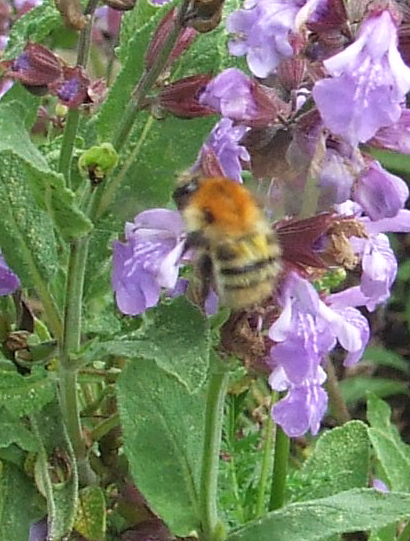 Bee on sage flowers