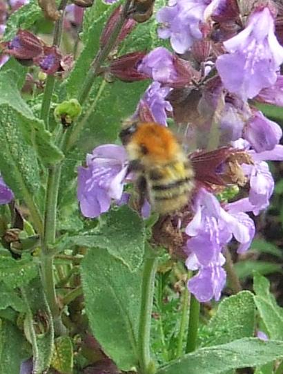 Bee on sage flowers