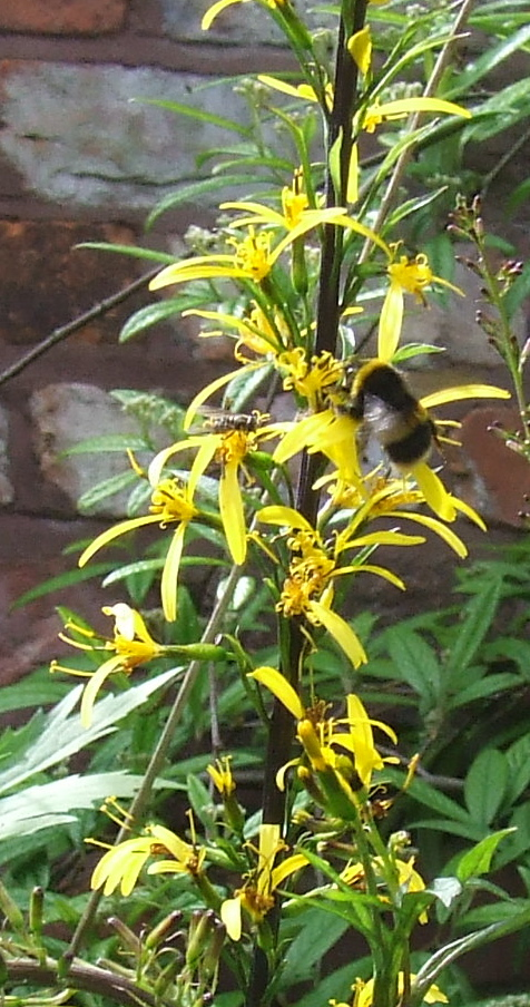 Ligularia and Bumble Bee           Photo: Artemisia