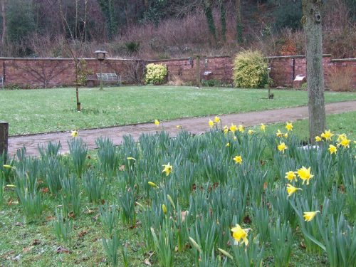 Chadkirk Walled Garden - Narcissus in bloom February 2013