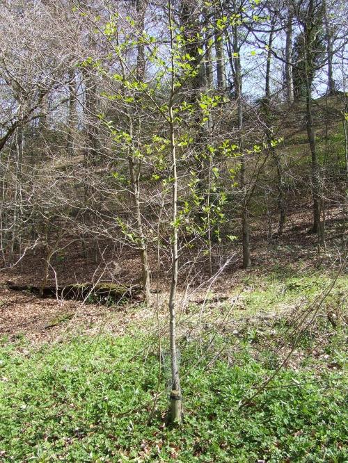 Planting for biodiversity : Alder glutinosa