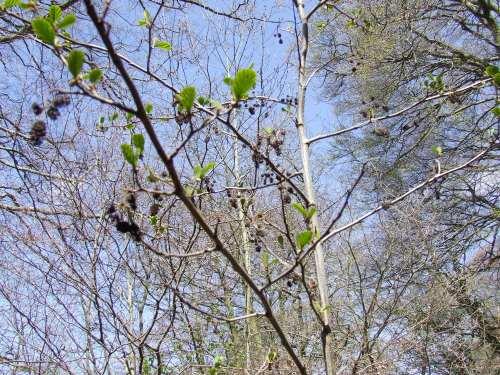Alder catkins, Kirkwood, Chadkirk  photo:Artemisia