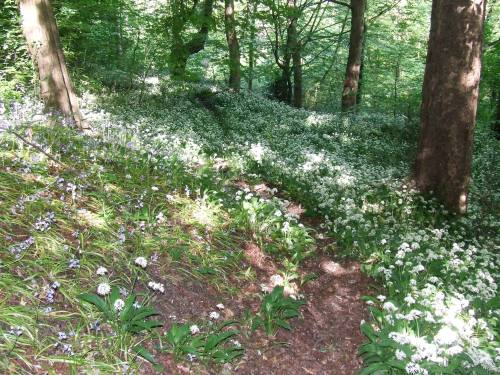 Bluebells and wild garlic flowering in June     Photo: Artemisia