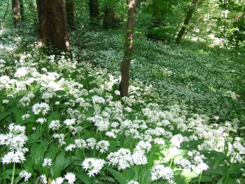 Wild garlic on the slopes of Kirk Wood, Chadkirk   Photo: Artemisia