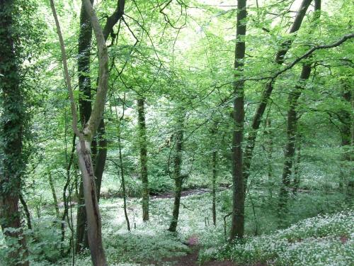 Drifts of wild garlic in Kirk Wood          Photo: Artemisia