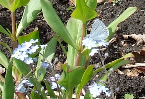 Holly Blue feeding on forget-me-not flowers