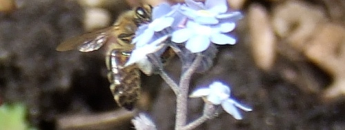 Honey bee feeds on forget-me-not flower